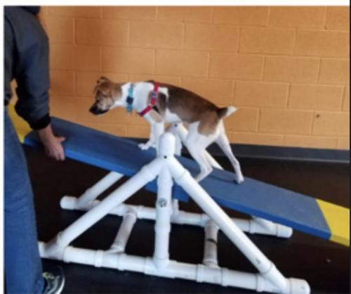 Dog For Adoption Boing Il A Jack Russell Terrier In Columbia Tn Petfinder