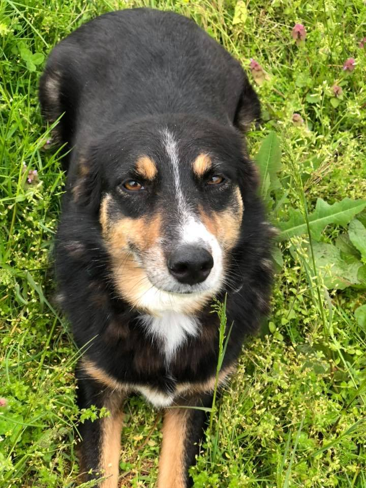 Charm, an adoptable Australian Shepherd Mix in Chestertown, MD