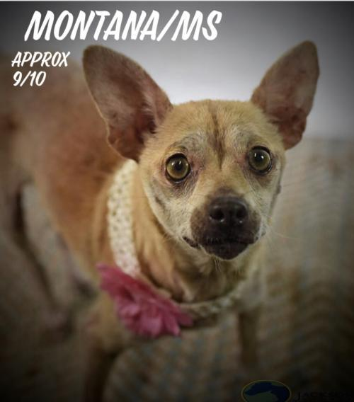 Dog For Adoption Montana Ms A Chihuahua In Columbia Tn Petfinder