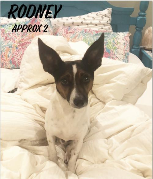 Dog For Adoption Rodney A Jack Russell Terrier In Columbia Tn Petfinder