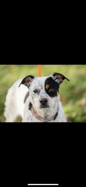Dog For Adoption Storm Dd An Australian Cattle Dog Blue Heeler Mix In Columbia Tn Petfinder