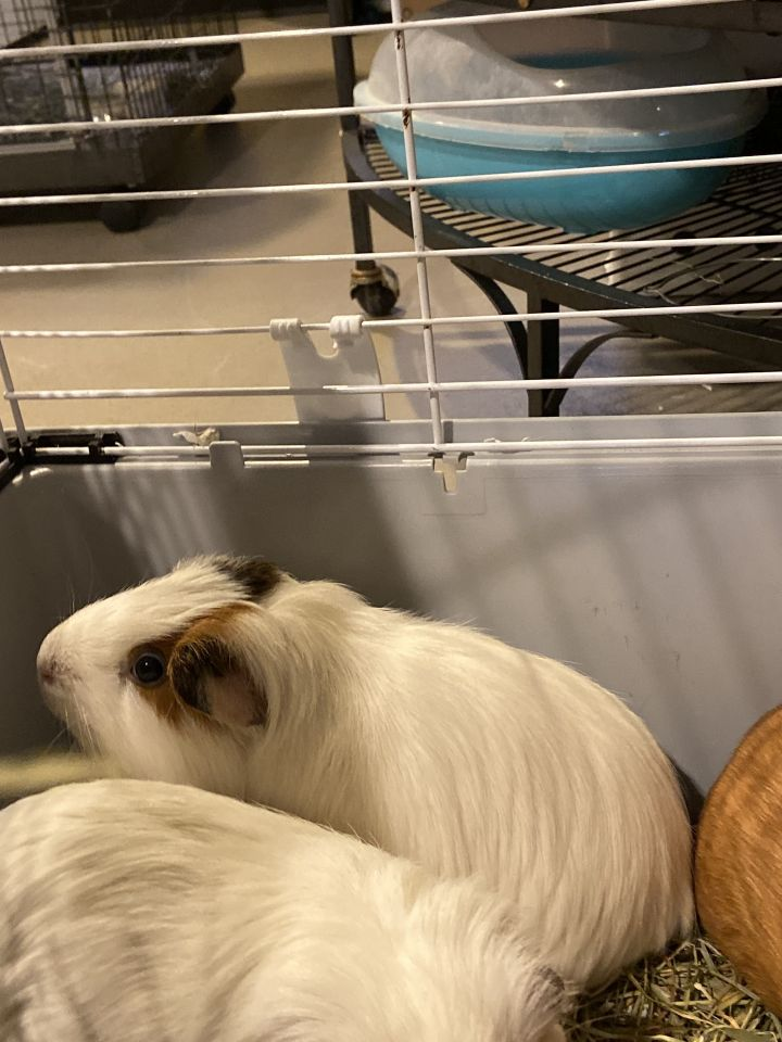 Illinois, Miep, & Clover, an adoptable Guinea Pig Mix in Bellingham, WA
