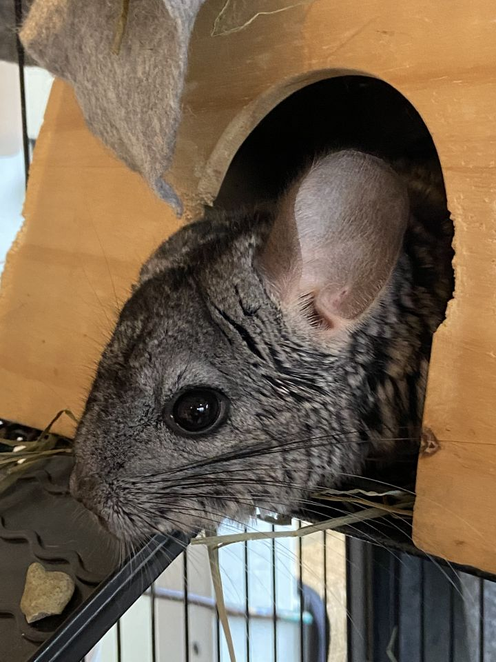 Strudel, an adoptable Chinchilla in Bellingham, WA