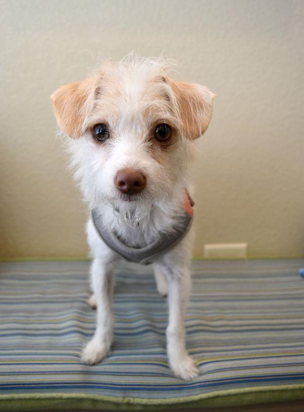 Boston Terrier Puppies Texas Craigslist - petfinder