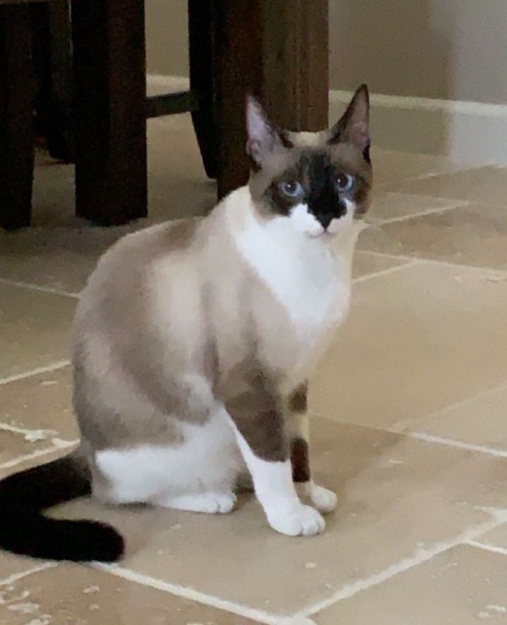 Tiny Tina, an adopted Snowshoe Mix in Phoenix, AZ