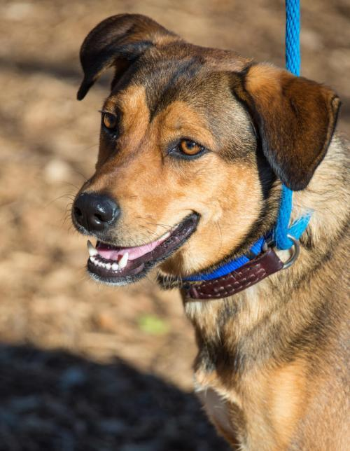 NatashaRomanoff, an adoptable Shepherd & Labrador Retriever Mix in Alpharetta, GA
