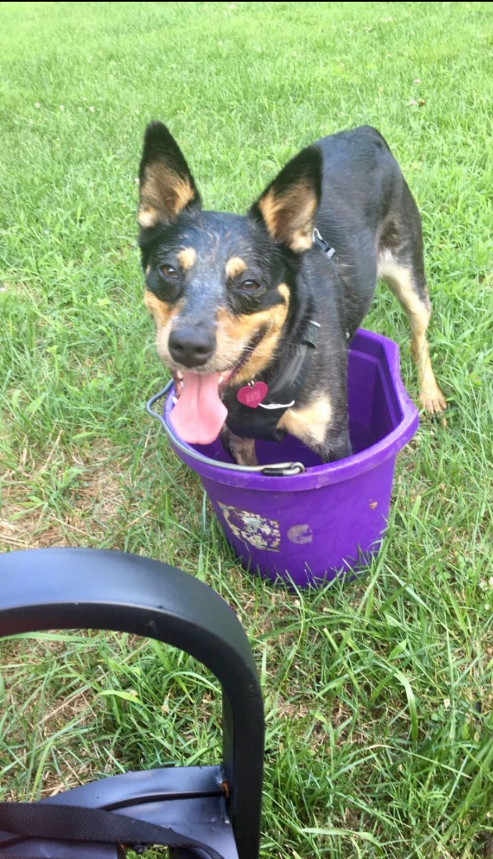 Tali, an adopted Australian Cattle Dog / Blue Heeler Mix in Newton, NJ