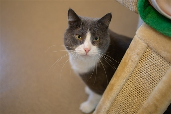 Walter, an adoptable Domestic Short Hair Mix in Columbus, OH