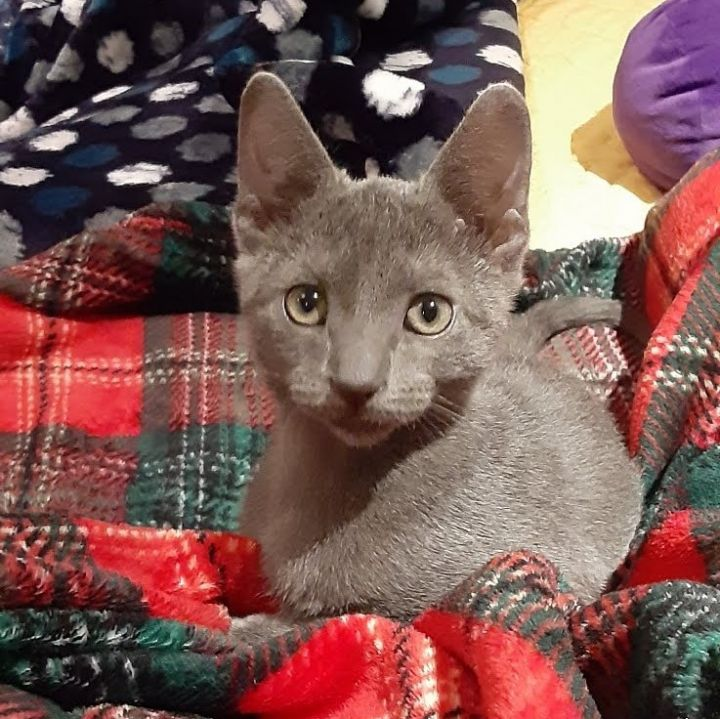 Bobby Steel, an adopted Russian Blue & Domestic Short Hair Mix in Ponte Vedra, FL