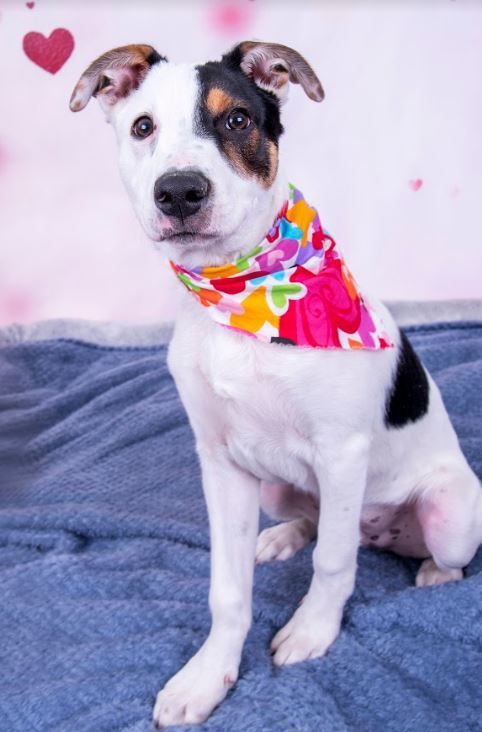 Gio, an adoptable Catahoula Leopard Dog Mix in Dallas, TX
