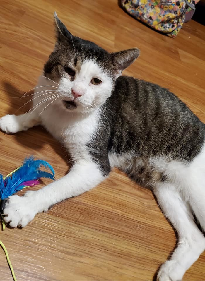 CLAUDE FROLLO!, an adopted Domestic Short Hair in Philadelphia, PA