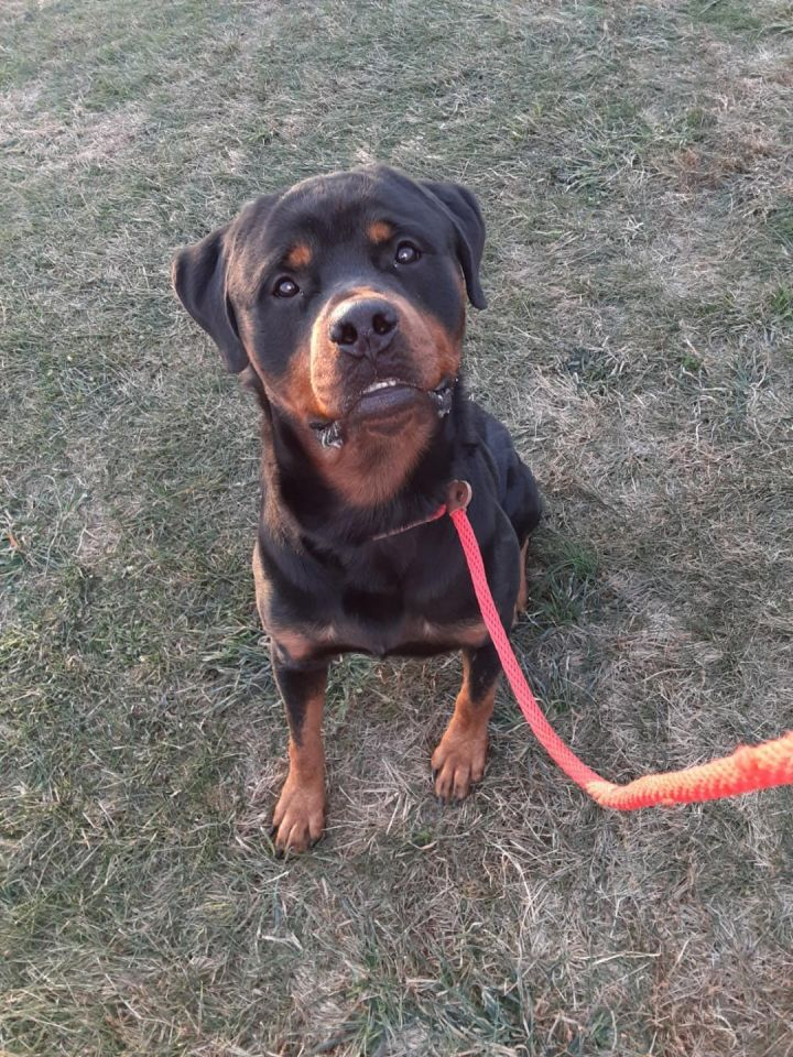 Iron, an adoptable Rottweiler in Dillsburg, PA