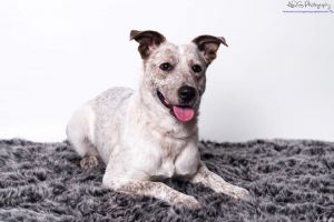 Pepper is a 1-2-year-old cattle dog mix She is super sweet and very loving but its very clear tha