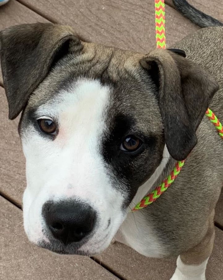 Sarabi, an adopted Pit Bull Terrier Mix in Greenville, NC