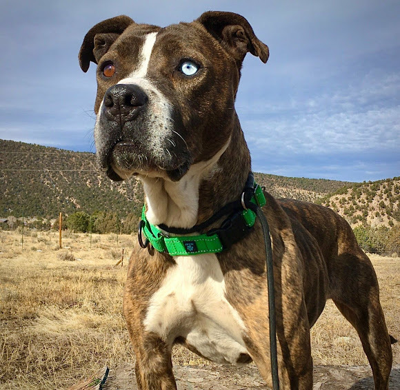 Noel, an adoptable Pit Bull Terrier Mix in Ridgway, CO