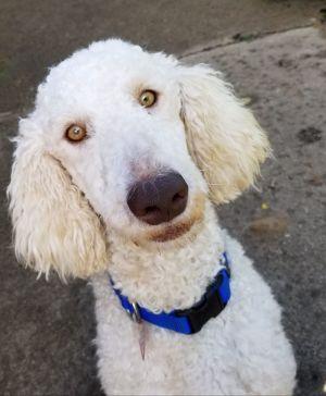 Dog For Adoption Dawson A Poodle Golden Retriever Mix