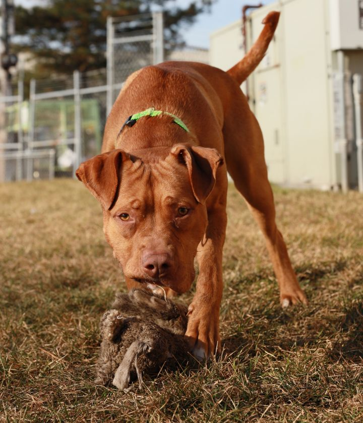 Rudolf, an adoptable Pit Bull Terrier & Mastiff Mix in Naperville, IL