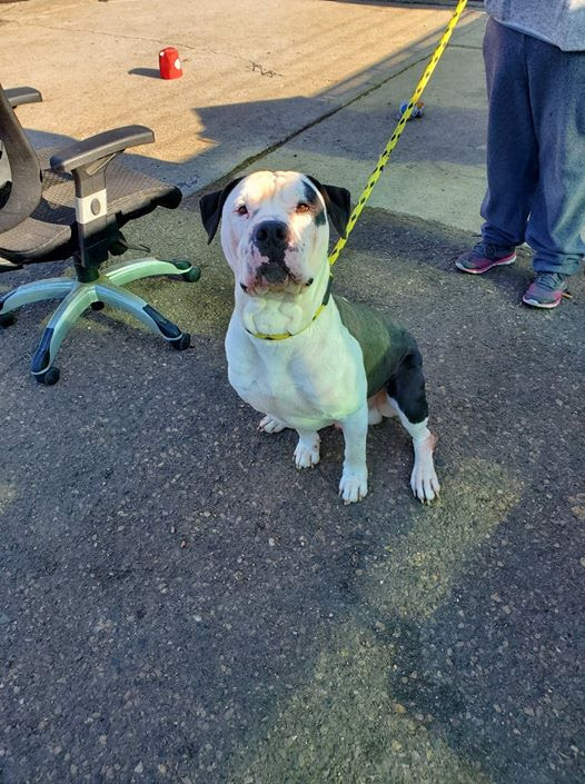 Oreo, an adoptable Pit Bull Terrier Mix in Eagle, ID