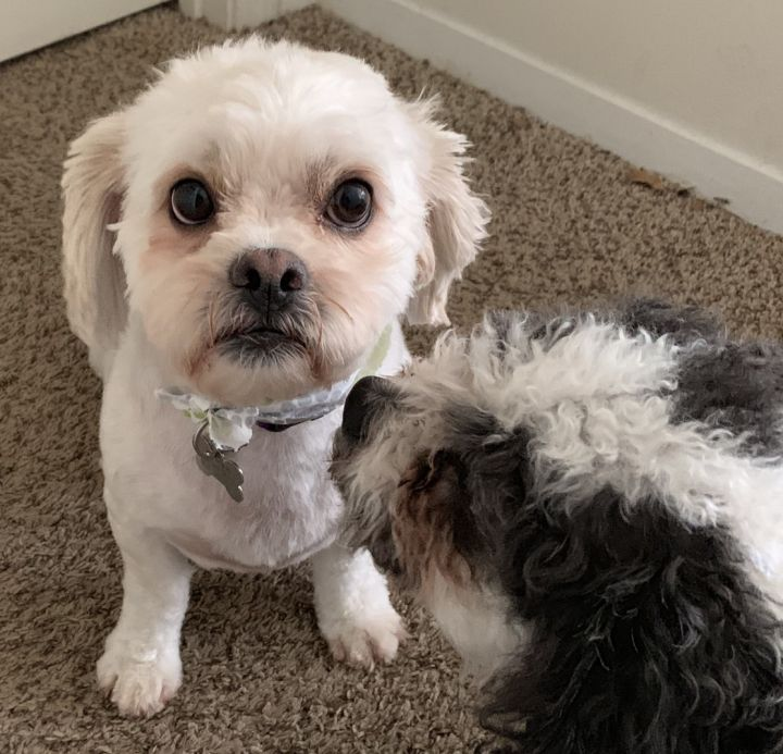 Dog For Adoption Sheldon Jr A Maltese Poodle Mix In