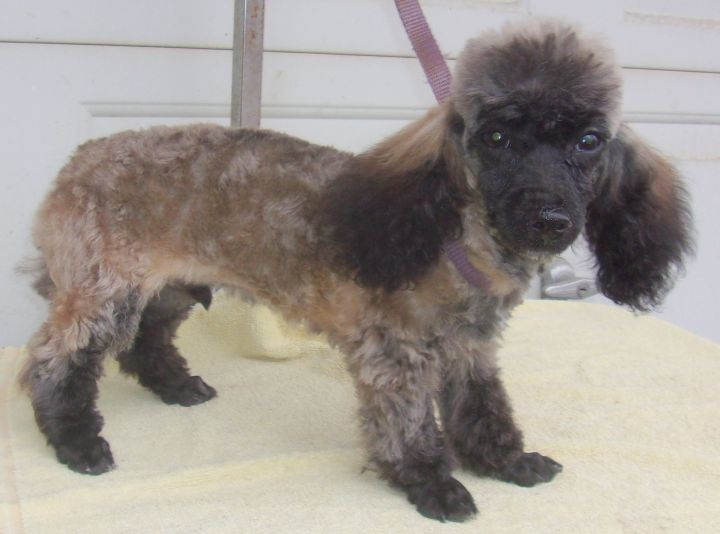 Dog For Adoption Comet A Poodle In Birch Tree Mo Petfinder