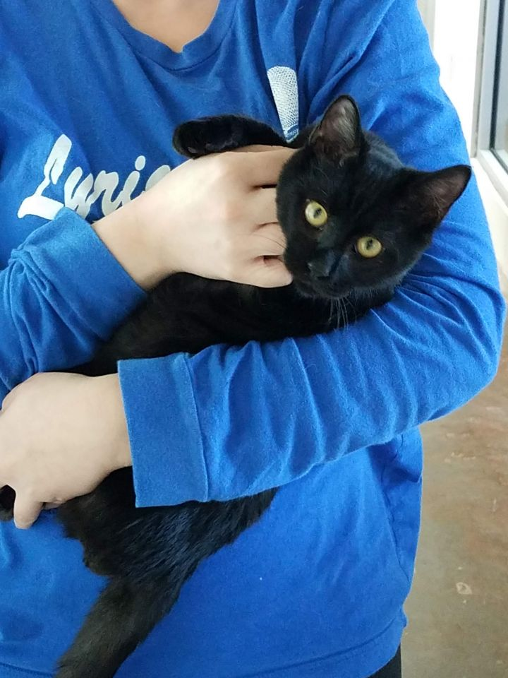 Lip, an adoptable Domestic Short Hair Mix in Carencro, LA