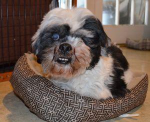 Cesar Ranger Lhasa Apso Dog