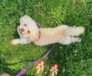 Breed Terrier  Maltese mix Age 3 yrs Weight 14 lbs Good with dogs yes if they give her space