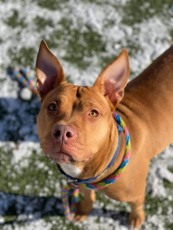 Katy Pawry, an adopted Terrier & Pit Bull Terrier Mix in Cleveland, OH