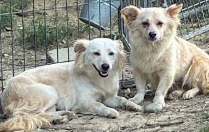 Marilyn is a two year-old Long-haired ChihuahuaSpaniel mix rescued from Puerto Rico along with her
