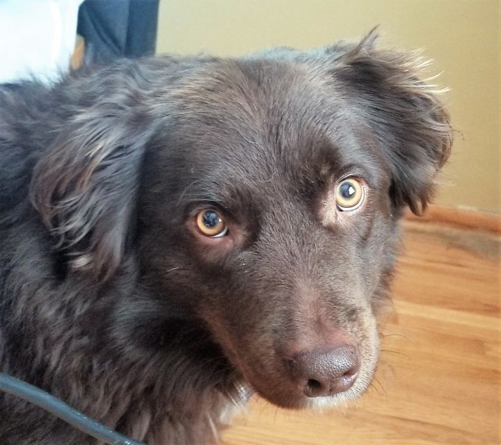 Jake, an adoptable Australian Shepherd in Minneapolis, MN