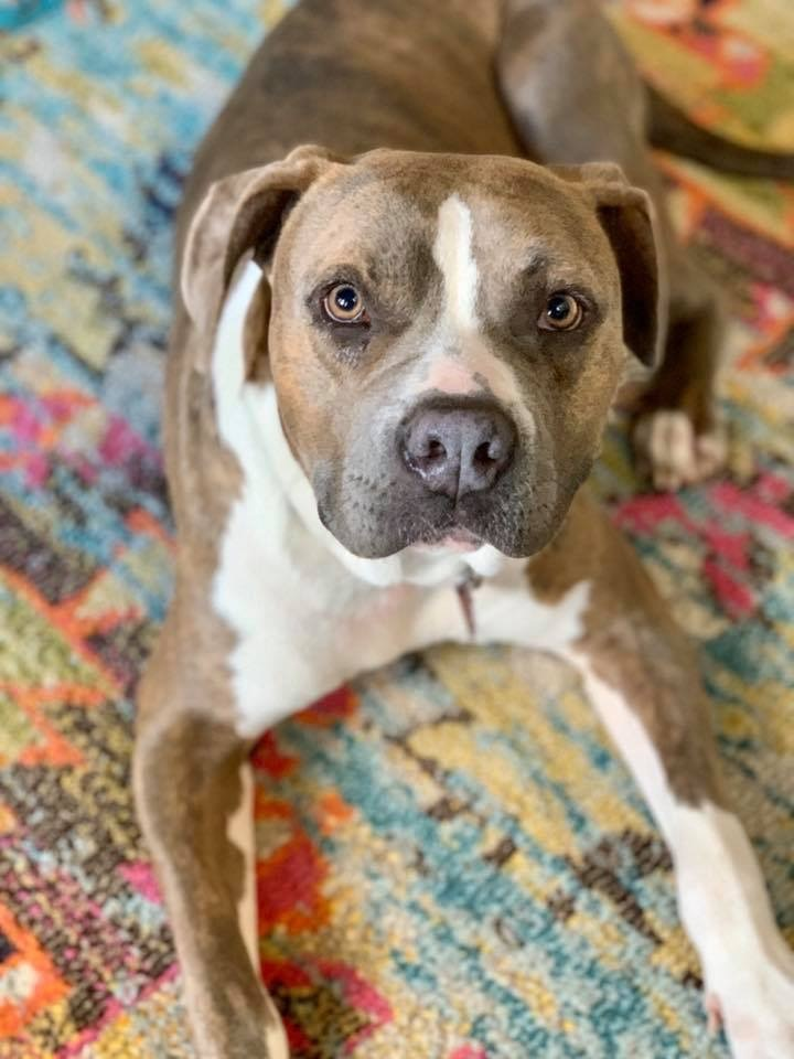 Leroy, an adoptable Boxer Mix in Conover, NC