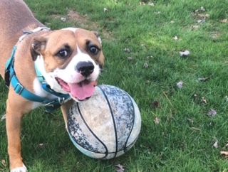 Boscoe, an adopted Boxer & Pit Bull Terrier Mix in Lincoln Park, NJ