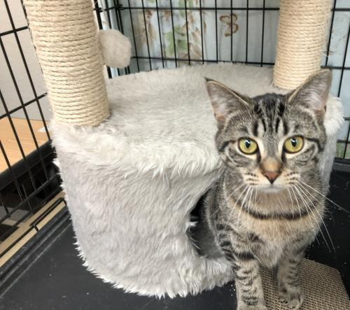 Payton, an adoptable Tabby & Domestic Short Hair Mix in Monroe, MI