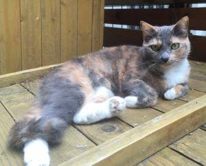 Noel Dilute Calico Cat