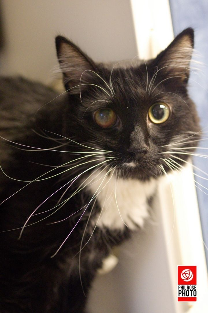 Sierra, an adopted Domestic Medium Hair Mix in Bellingham, WA