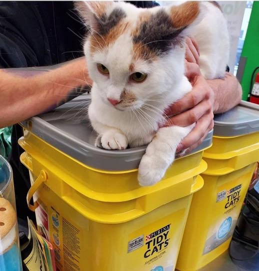 Moo Moo, an adoptable Calico in Garfield Heights, OH