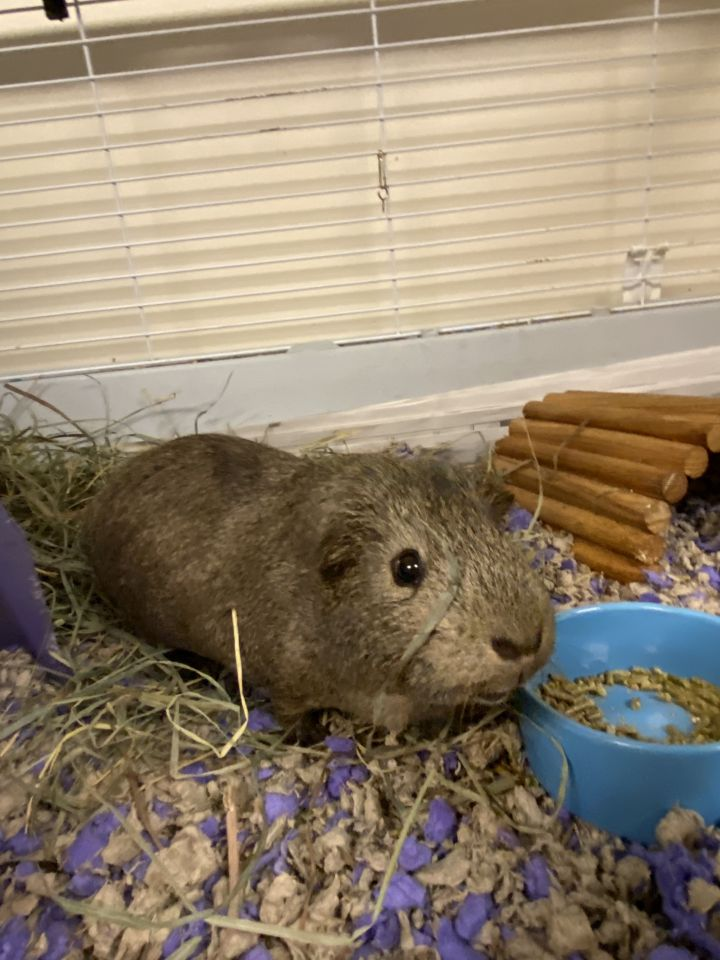 Melvin, an adoptable Guinea Pig Mix in Bellingham, WA
