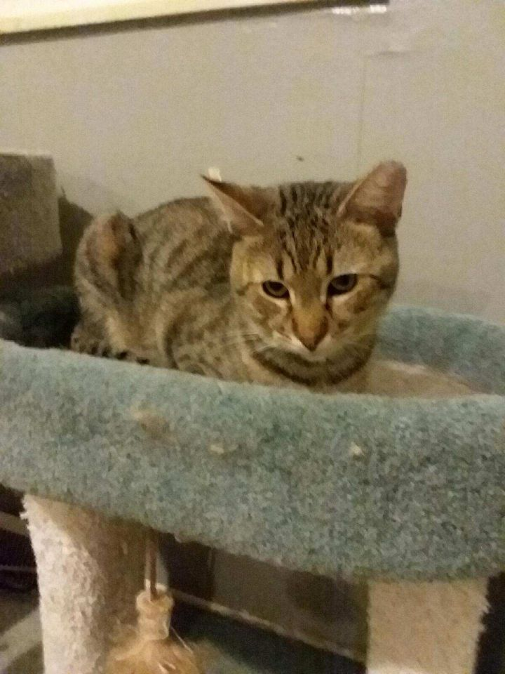 Duke, an adoptable Tabby in Garfield Heights, OH