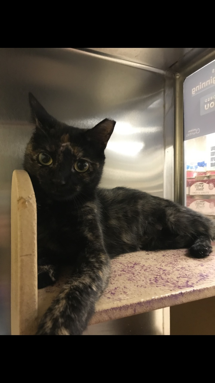 Tanya, an adoptable Tortoiseshell in Garfield Heights, OH