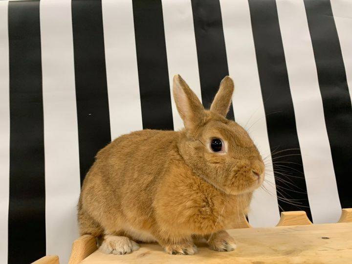 Creampuff, an adopted Harlequin & Bunny Rabbit Mix in Youngstown, OH