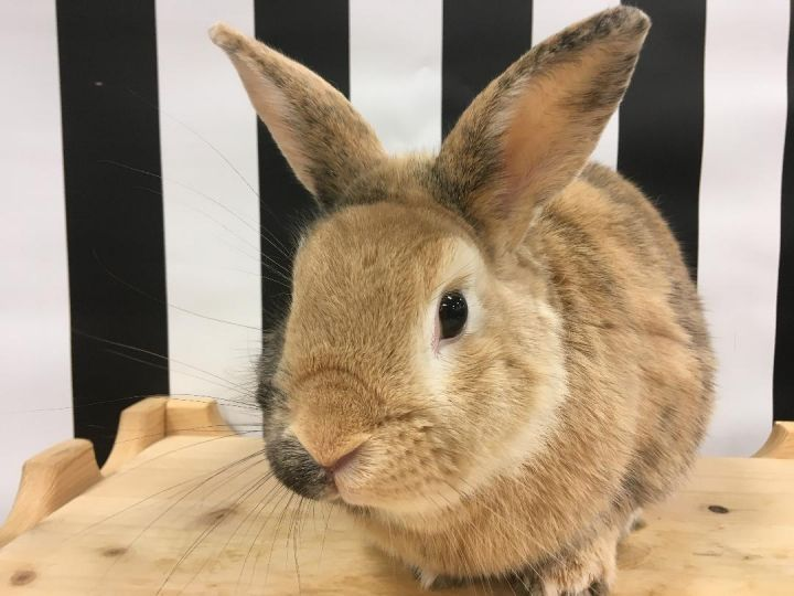 Biscotti, an adoptable Harlequin & Bunny Rabbit Mix in Youngstown, OH