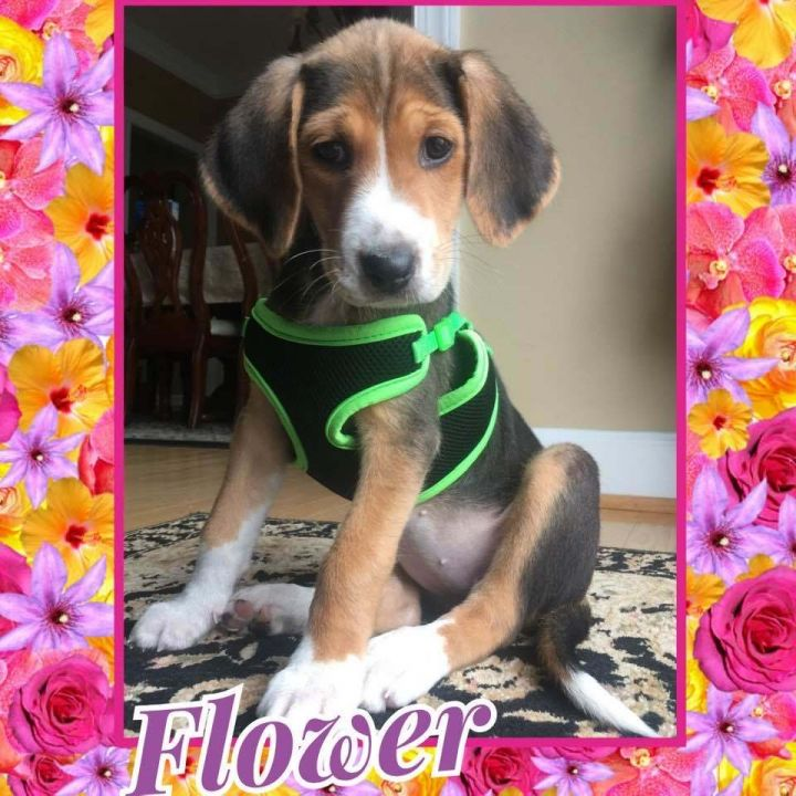 Flower, an adopted Hound Mix in Raleigh, NC