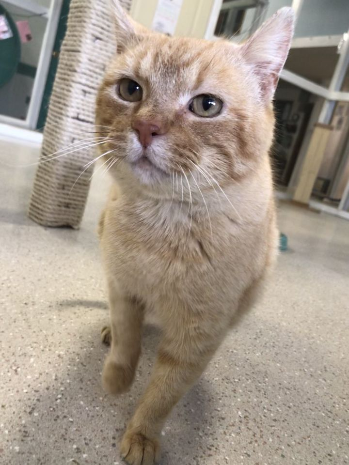Drew, an adoptable Domestic Short Hair in Winona, MN