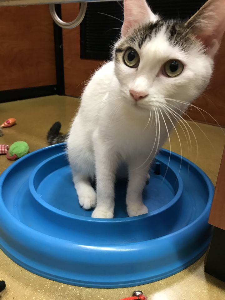 Gizmo, an adopted Domestic Short Hair in Fort Lauderdale, FL