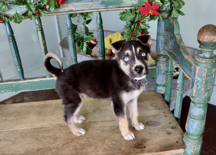 Zeke, an adopted Husky Mix in San Antonio, TX