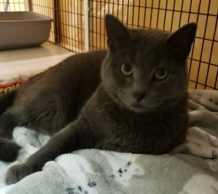 Shadow, an adopted Domestic Short Hair in Rochester, NY