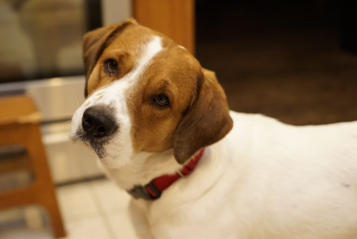 Norman, an adoptable Hound Mix in South Dartmouth, MA