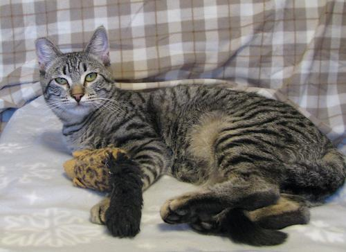 Zelda, an adoptable Tabby & Domestic Short Hair Mix in Springfield, OR
