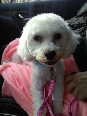 Dog For Adoption Beau A Havanese Poodle Mix In White Plains