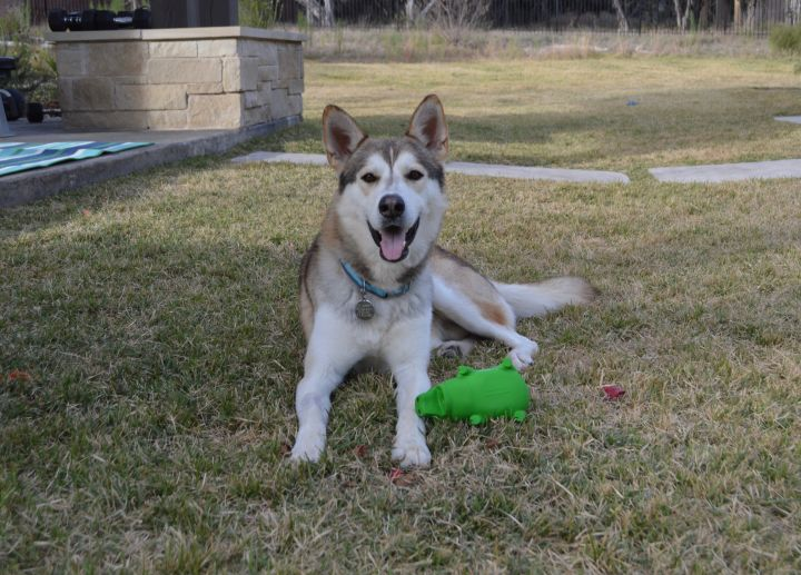 Max, an adoptable Husky Mix in Marble Falls, TX